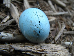 Hatching robin's egg by audreyjm529 of flickr