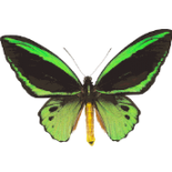 cropped-green_and_black_butterfly2.png